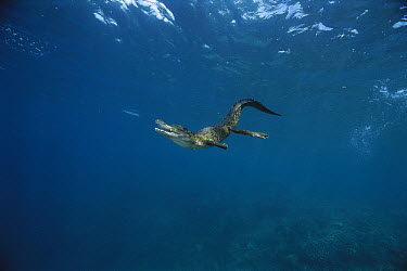 Saltwater Crocodile (Crocodylus porosus) swimming, Papua New Guinea  -  Mike Parry