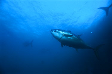 Southern Bluefin Tuna (Thunnus maccoyii) swimming, Australia  -  Mike Parry