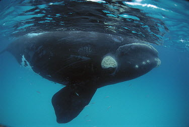 Southern Right Whale (Eubalaena australis) surfacing, Australia  -  Mike Parry