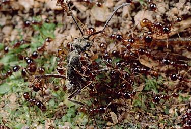 Marauder Ant (Pheidologeton diversus) minor workers pin down Ant (Diacamma sp) intruder on trail  -  Mark Moffett