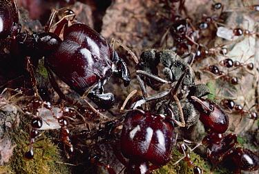 Marauder Ant (Pheidologeton diversus) major worker ants on gang killing rampage  -  Mark Moffett