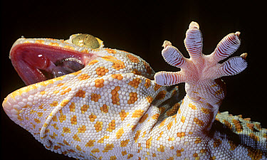 Tokay Gecko (Gecko gecko) showing underside of feet  -  Mark Moffett