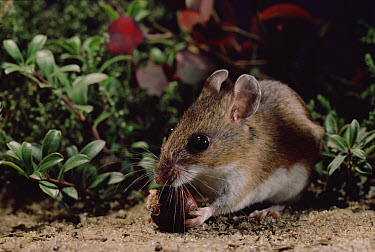 White-footed Mouse (Peromyscus leucopus) eating Acorn in Pygmy Pine barrens, New Jersey  -  Mark Moffett