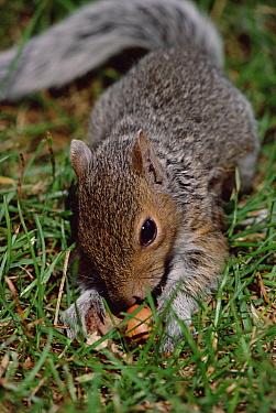 Eastern Gray Squirrel (Sciurus carolinensis) with Acorn, Boston, Massachusetts  -  Mark Moffett