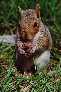 Eastern Gray Squirrel (Sciurus carolinensis) young squirrel with Acorn, Boston, Massachusetts  -  Mark Moffett