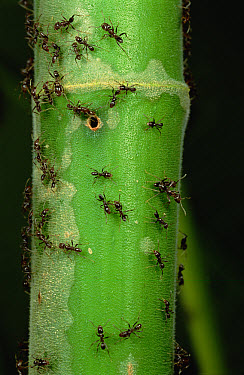 Ant (Azteca sp) patrol at colony entrance of their host (Cecropia sp) tree, Costa Rica  -  Mark Moffett