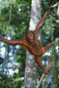 Orangutan (Pongo pygmaeus) young swinging in trees, Sepilok Forest Reserve, Sabah, Borneo  -  Mark Moffett