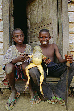 Goliath Frog (Conraua goliath) held by two boys, Ghana  -  Mark Moffett