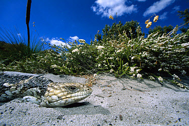 Central Bluetongue Skink (Tiliqua multifasciata) profile, Heathlands North of Perth, Australia  -  Mark Moffett