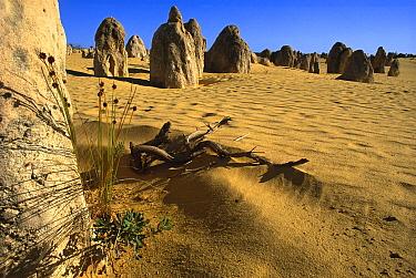Limestone pinnacles in Pinnacles Desert, Nambung National Park, 250 kilometers north of Perth, Australia  -  Mark Moffett