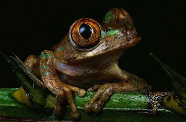 African Tree Frog (Leptopelis sp) portrait, Ivory Coast, Africa  -  Mark Moffett