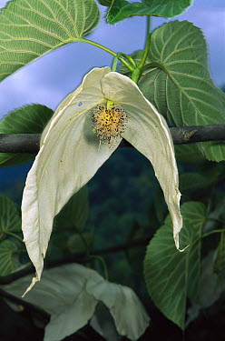 Dove Tree (Davidia involucrata) blossom, so named because its blossoms waft in the breeze like wings, Sichuan Province, China  -  Mark Moffett