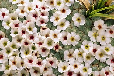 Sandwort (Arenaria kansuensis) arthritis cure is also a popular addition to rock gardens, Sichuan Province, China  -  Mark Moffett
