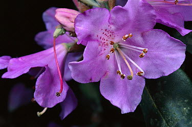 Rhododendron (Rhododendron sp) flowers, Sichuan Province, China  -  Mark Moffett