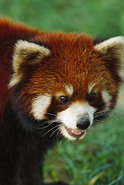 Lesser Panda (Ailurus fulgens), China  -  Mark Moffett