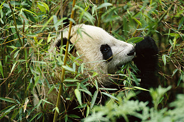 Giant Panda (Ailuropoda melanoleuca) using thumb to eat bamboo, Wolong Nature Reserve, China Conservation and Research Center for the Giant Panda, China  -  Mark Moffett