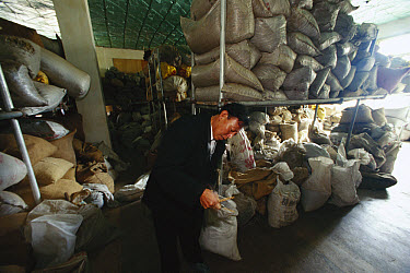 Man looks at folk medicines stocked in a pharmacy such as dried monkey blood, ground deer horn and insects, Kangding, China  -  Mark Moffett