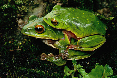 Tree Frog (Hyla sp) pair mating, Wawu National Park, Sichuan Province, China  -  Mark Moffett