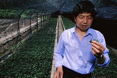 Yew (Taxus sp) tree nursery, source of Taxol drug, Sichuan Province, China  -  Mark Moffett