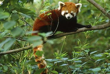 Lesser Panda (Ailurus fulgens) on tree limb, Chengdu Panda Breeding Center, China  -  Mark Moffett