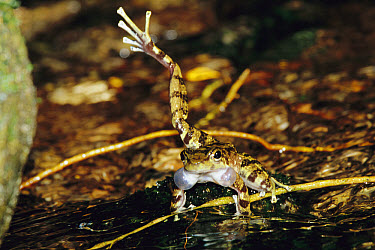 Warty Tree Toad (Hylodes asper) repeatedly kicks its leg right and left to mark its streamside territory and attract mates, Atlantic Forest, Brazil, sequence 1 of 2  -  Mark Moffett