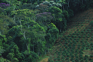Coffee plantation encroaching on virgin rainforest, Espirito Santo, Atlantic Forest ecosystem, Brazil  -  Mark Moffett