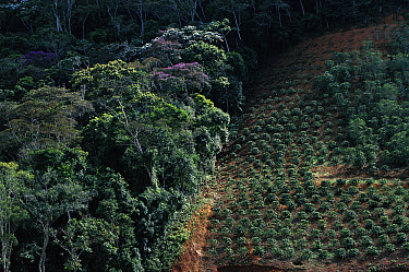 Coffee plantation encroaching on the Atlantic Forest ecosystem, Espirito Santo, Brazil  -  Mark Moffett