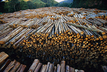 Gum Tree (Eucalyptus sp) stacked lumber cut from plantations of this non-native species which have replaced 7.5 million acres of forest in Brazil, the world's biggest source of Eucalyptus pulp for pap...  -  Mark Moffett