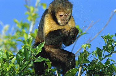 Yellow-breasted Capuchin (Cebus xanthosternos) eating a spider, Bahia, Atlantic Forest, Brazil  -  Mark Moffett