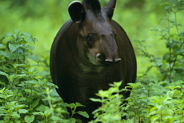 Brazilian Tapir (Tapirus terrestris) portrait, an important disperser of fruit seeds in the Atlantic Forest ecosystem, Brazil  -  Mark Moffett