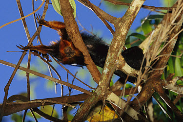 Golden-headed Lion Tamarin (Leontopithecus chrysomelas) with a radio collar stretching out in the forest canopy, Atlantic forest, Brazil  -  Mark Moffett