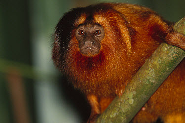 Golden Lion Tamarin (Leontopithecus rosalia) portrait in tree, Atlantic Forest, Ilheus, Bahia, Brazil  -  Mark Moffett