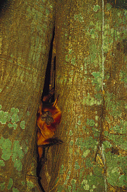 Golden-headed Lion Tamarin (Leontopithecus chrysomelas) emerging from its sleep den in the trunk of a tree, Atlantic Forest, Ilheus, Bahia, Brazil  -  Mark Moffett
