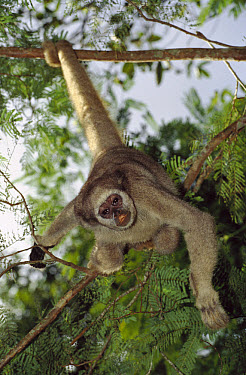 Northern Muriqui (Brachyteles hypoxanthus) peering down from a tree near the Caatinga Biological Station where a 2, 365 acre reserve protects less than 300 individuals are thought to remain, Atlantic...  -  Mark Moffett