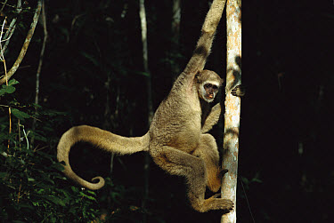 Northern Muriqui (Brachyteles hypoxanthus) climbing on a tree trunk in the Caatinga Biological Station where a 2, 365 acre reserve protects these less than 300 individuals are thought to remain, Atlan...  -  Mark Moffett