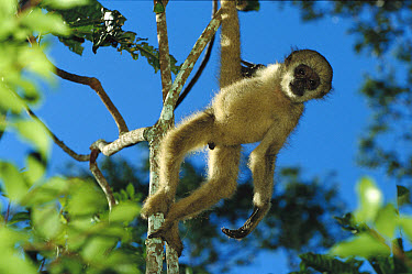 Northern Muriqui (Brachyteles hypoxanthus) baby in a tree at the Caatinga Biological Station where a 2, 365 acre reserve protects less than 300 individuals are thought to remain, Atlantic Forest, Braz...  -  Mark Moffett
