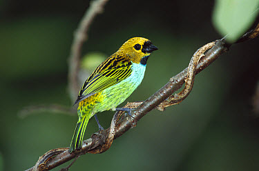 Gilt-edged Tanager (Tangara cyanoventris) perching on branch, endemic species, Atlantic Forest, Brazil  -  Mark Moffett