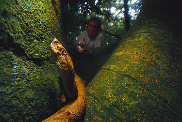 Golden Lancehead (Bothrops insularis), University of Sao Paulo researcher Marcio Martins holds one snake while watching another, a deadly venomous snake living only on Queimada Grande Island, Atlantic...  -  Mark Moffett