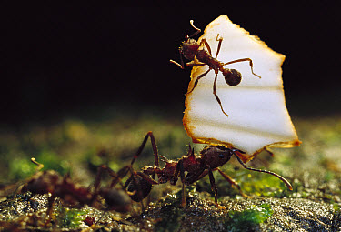Leafcutter Ant (Atta sp) with their jaws full, ants carrying leaves must rely on others for defense against attack, a smaller ants ride on the leaf driving away attackers, Salto Morato Reserve, Atlant...  -  Mark Moffett