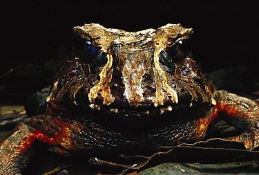 Southern Frog (Macrogenioglottus alipioi) portrait, Atlantic Forest, Sao Paulo State, Brazil  -  Mark Moffett