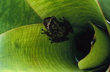 Snouted Treefrog (Scinax arduous) breeds in bromeliads, Espirito Santo, Atlantic Forest, Brazil  -  Mark Moffett