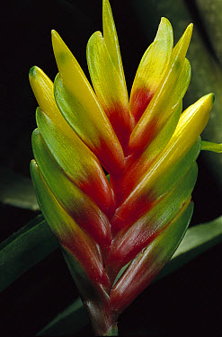Bromeliad (Bromeliaceae) close-up detail, Atlantic Forest, Brazil  -  Mark Moffett