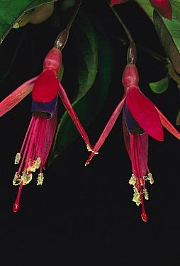 Fuschia (Fuchsia sp) flowers showing pollen-covered anthers, near Rio de Janeiro, Atlantic Forest, Brazil  -  Mark Moffett