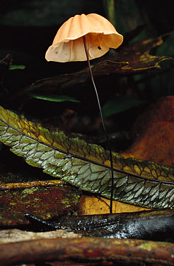 Mushroom sprouting from rainforest floor, Jurupari State Reserve, Sao Paulo State, Atlantic Forest, Brazil  -  Mark Moffett