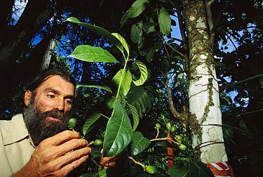Tree (Andreadoxa flava), the only known individual of a new tree genus living in a cocoa plantation, observed by its discoverer, Andre de Carvalho, Atlantic Forest ecosystem, Brazil  -  Mark Moffett