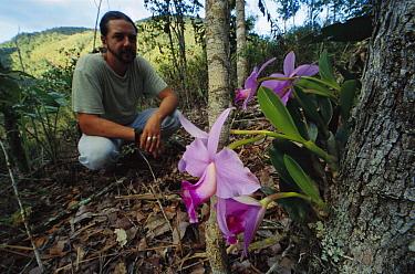 Distinguished Laelia Orchid (Laelia praestans) admired by botanist Ludovic Kollman, Espirito Santo, Atlantic Forest, Brazil  -  Mark Moffett