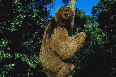 Maned Sloth (Bradypus torquatus) in a tree at a rehabilitation center near Ilheus, Atlantic Forest, Brazil  -  Mark Moffett