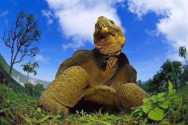 Galapagos Giant Tortoise (Chelonoidis nigra) in Alcedo Volcano, Isabella Island, Galapagos Islands, Ecuador  -  Mark Moffett