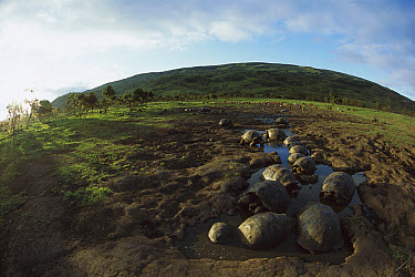 Galapagos Giant Tortoise (Chelonoidis nigra) in wallow, herd of feral goats nearby, near Alcedo Volcano, Isabella Island, Galapagos Islands, Ecuador  -  Mark Moffett
