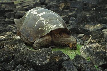 Galapagos Giant Tortoise (Chelonoidis nigra) feeding on grass that has already been eaten back to stubble, San Cristobal Island, Galapagos Islands, Ecuador  -  Mark Moffett